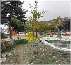 Photo: Arborele pagodelor (Ginkgo biloba) - din Turda, Piata 1 Decembrie, spatiu verde - 2018.10.19