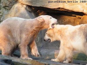 Photo: Gutgelaunte junge Eisbaeren Knut und Gianna :-)