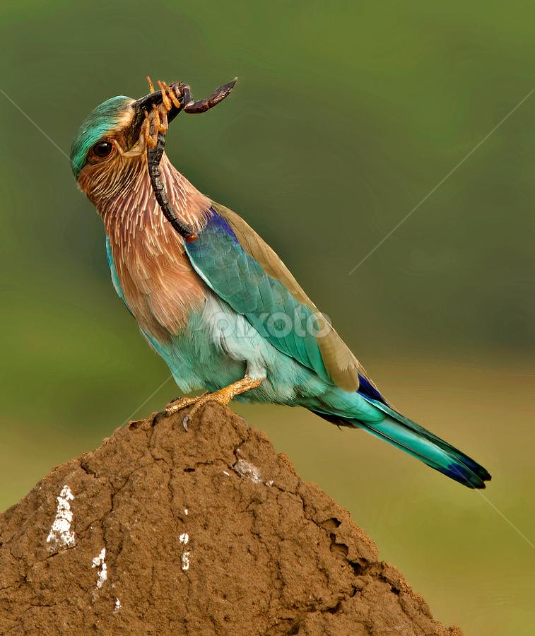 INDIAN ROLLER by Subramanniyan Mani - Animals Birds ( bird, nature, scorpion, wildlife, indian roller )