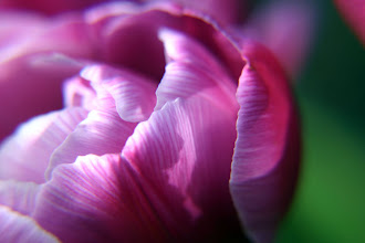 Photo: Tulip Petals - Prints/cards available here - http://www.inspiraimage.com/index.php/gallery/flowers/213-pink-tulip-petals