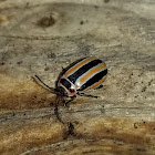 Jumping leaf beetle