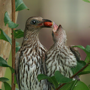 Fig Bird and chick.jpg
