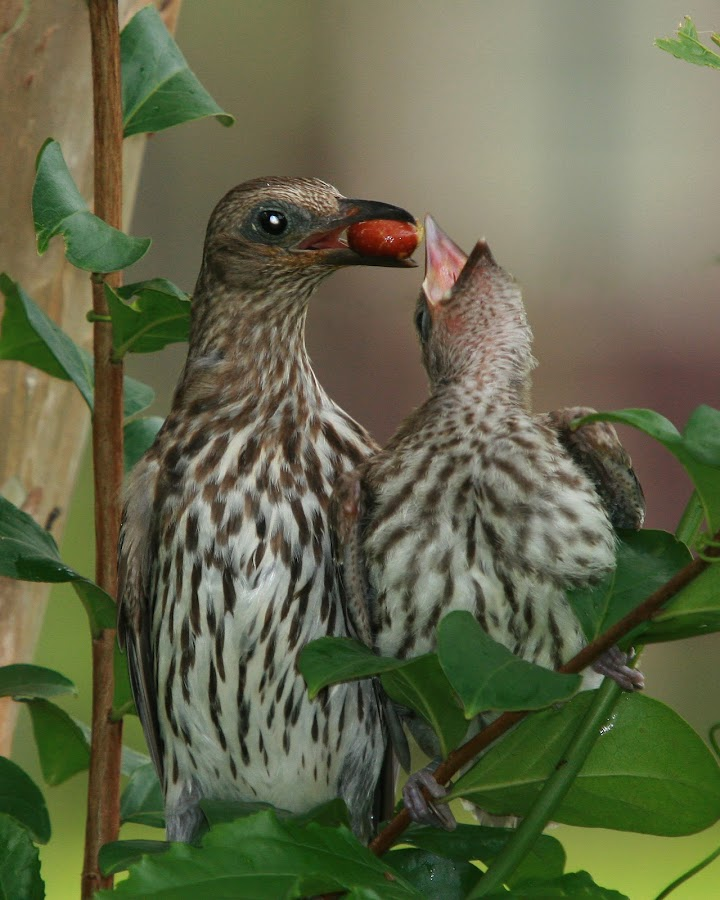 Mother Fig bird and chick by Garry Voysey - Animals Birds