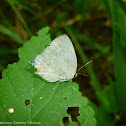 Pearly-Gray Hairstreak