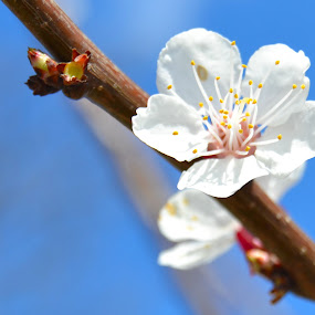 pure hope by Rux Georgescu - Flowers Tree Blossoms ( plum tree, spring, blossom )