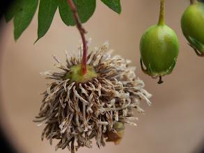Photo: Agalla en fruto de Crataegus monogyna