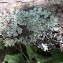 Rough Speckled Shield Lichen