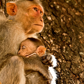 Mother by Mahesh Thiru - Animals Other Mammals ( love, face, tree, mother, hands, care, brown, legs, sleeping, monkey, kid, eyes )