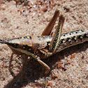 Queensland Spotted Pyrgomorph