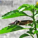 Convolvulus Hawk Moth ♂