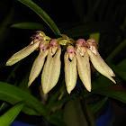 Weber's Bulbophyllum