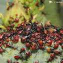 Cactus coreid (nymphs)