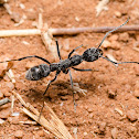 Greater Striated Bispinous Ant