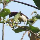 The purple-rumped sunbird