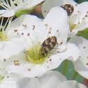 Asian Carpet Beetle