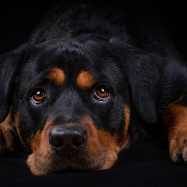 Are you coming soon?  by Astrid Kallerud - Animals - Dogs Portraits ( dog portraits, pet portrait, rottweiler, dogs, animal, pet photography, dog, pet )