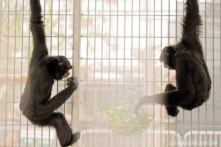 Siamang Gibbons at the Gibbon Center in Santa Clarita.