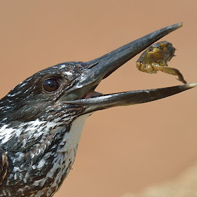 Snack time by Tobie Oosthuizen - Animals Birds ( rietvlei nature reserve, giant kingfisher, crab )