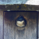 Tree Swallow (babies)