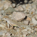 Greater Earless Lizard (Juvenile)