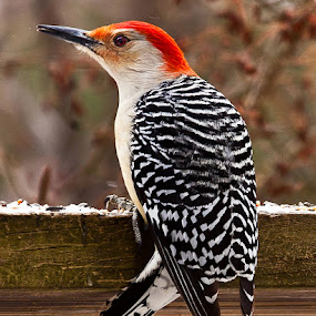 Red Bellied Woodpecker by D. Jan Anderson - Animals Birds