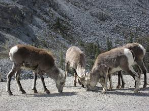 Photo: Yabani keçilerimiz.