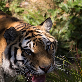 Hungry Tiger by Francois Larocque - Animals Lions, Tigers & Big Cats ( hungry, close up, feline, cat, tiger )