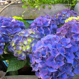 Hortensia by Viive Selg - Flowers Flower Arangements (  )