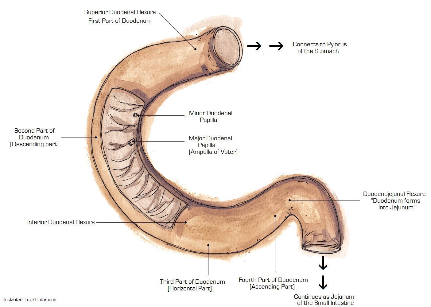 duodeno - anatomia dos intestinos delgado e grosso