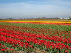 Photo: #006-Les champs de tulipes dans les environs de Lisse.