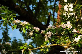Photo: die Apfelbäume blühen, ... aber dieses Jahr nicht alle gleich intensiv