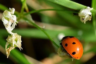 Photo: Coccinella septempunctata (coccinella comune)?