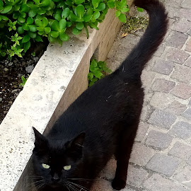 Black cat by Patrizia Emiliani - Animals - Cats Portraits ( cat, black,  )