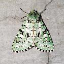 Lichen Sallow Moth