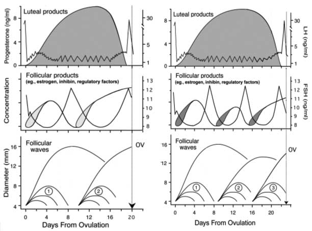 Bovine ovarian follicular wave dynamics during 2-wave and 3-wave estrous cycles (OV=ovulation). The top panel shows the relationship between progesterone secretion and luteinizing hormone (LH) release. The shaded area represents progesterone secretion in ng/ml (left axis). The dashed line represents typical serum concentrations of LH in ng/ml (right axis). Episodic pulses of LH are schematic. The middle panel shows the relationship between follicle stimulating hormone (FSH) and follicle wave status. The dashed line represents concentrations of FSH in ng/ml (right axis). The solid line represents changes in amounts of various regulatory factors produced by follicles, due to multiple follicles early in the wave and then from the dominant follicle during its late growing-early static phase of development. The bottom panel shows diameters of follicles within follicle waves (in mm on the left axis) as seen with serial ultrasound examinations of the ovaries. The first follicle wave emerges on the day of ovulation, while the second follicle wave emerges 9 or 10 days later. [Modified from Adams, 1994].