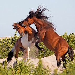 Pony fight by Jack Nevitt - Animals Horses