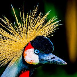 Eye Eye by Ken Nicol - Animals Birds (  )