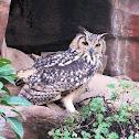 Indian eagle-owl / Rock eagle-owl