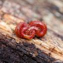 Soil Centipede