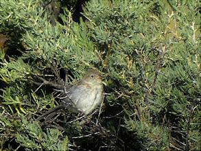 Photo: Vesper Sparrow