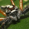 Two striped jumping spider(male)