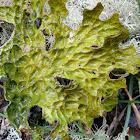 Tree lungwort lichen