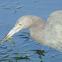 little blue heron eating bay pipefish