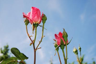 Rosa di msampei