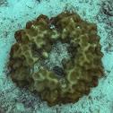 Boulder star coral