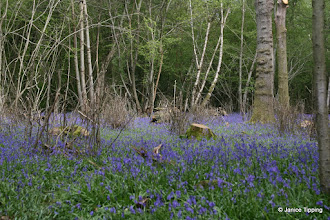 Photo: Bluebells on show in one of the clearings