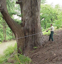 """Photo: The difference in elevation between the """"high side"""" and """"low side"""" of the tree makes this one a challenge to measure correctly."""