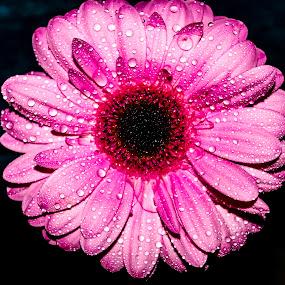 Pink petal by Raymond Fitzgerald - Flowers Single Flower ( close up, pink, wet, pink flower,  )