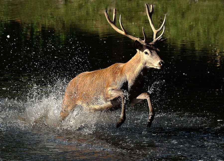 Making a splash by Steve Adams - Animals Other Mammals ( water, red deer, antlers, stag, deer )