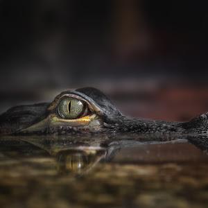 Mississippi-Alligator -Alligator mississippiensis - Hechtalligator 3854.jpg